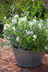 Convolvulus cneorum AGM with Cuphea 'Vienco White' in a silver galvanised container