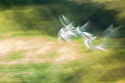 Abstract of a White-fronted Tern in flight, Akaroa, New Zealand
