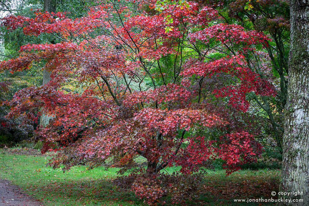 Acer palmatum 'Bloodgood' AGM - Japanese maple
