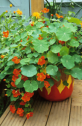Painted pot in the 'hot' area with nasturtiums and marigolds