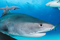 Tiger Shark, with Caribbean Reef and Lemons Sharks above<br /> <br /> Shot in Bahamas