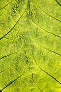 Close up detail of leaf structure, Giant Gunnera, Gunnera manicata, growing wild Trenoweth, near St Keverne, Cornwall, England, UK