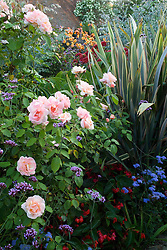 Rosa 'Chanelle' in the exotic garden at Great Dixter with Phormium 'Sundowner' and Ageratum houstoniarum 'Blue Horizon'