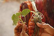 Barreirinhas_MA, Brasil.<br /> <br /> Processo de fabricao de artesanato de buriti no povoado de Marcelino. Na foto, detalhe de fibra colorida com salsa da praia.<br /> <br /> The manufacture of handicrafts process in the Buriti Marcelino Village. In this photo colored fiber with Ipomoea pes-caprae.<br /> <br /> Foto: LEO DRUMOND / NITRO