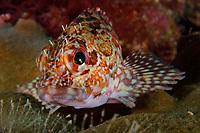Marbled Rockfish, Sebastiscus marmoratus. Sharp Island, Hong Kong, China.<br /> This Image is a part of the mission Wild Sea Hong Kong (Wild Wonders of China).