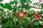 Red rose flower with yellow center cocktail Meimick climber rose
