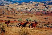 Wild horses run on the Pryor Wild Horse Range in Wyoming/Montana.