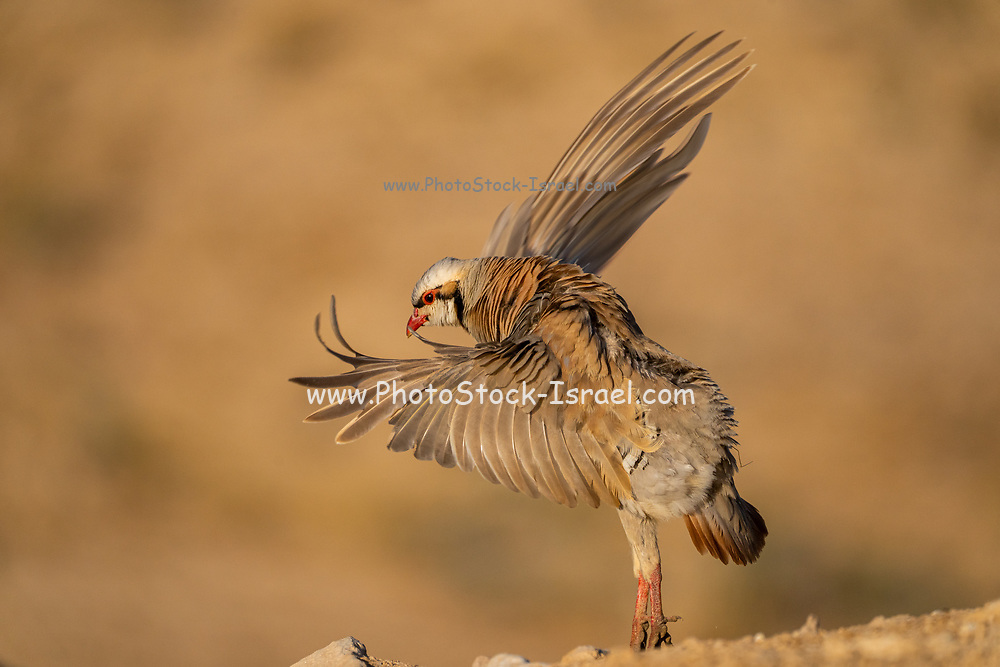 Chukar Partridge or Chukar (Alectoris chukar) shrugging its wings. Photographed in Israel, Near a water pool Negev desert.  a Palearctic upland gamebird in the pheasant family Phasianidae. It has been considered to form a superspecies complex along with the rock partridge, Philby's partridge and Przevalski's partridge and treated in the past as conspecific particularly with the first. This partridge has well marked black and white bars on the flanks and a black band running from the forehead across the eye and running down the head to form a necklace that encloses a white throat. The species has been introduced into many other places and feral populations have established themselves in parts of North America and New Zealand. This bird can be found in parts of the Middle East and temperate Asia.