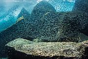 Juvenile Grunts (Haemulidae)<br /> North Seymour<br /> Galapagos<br /> Ecuador<br /> South America