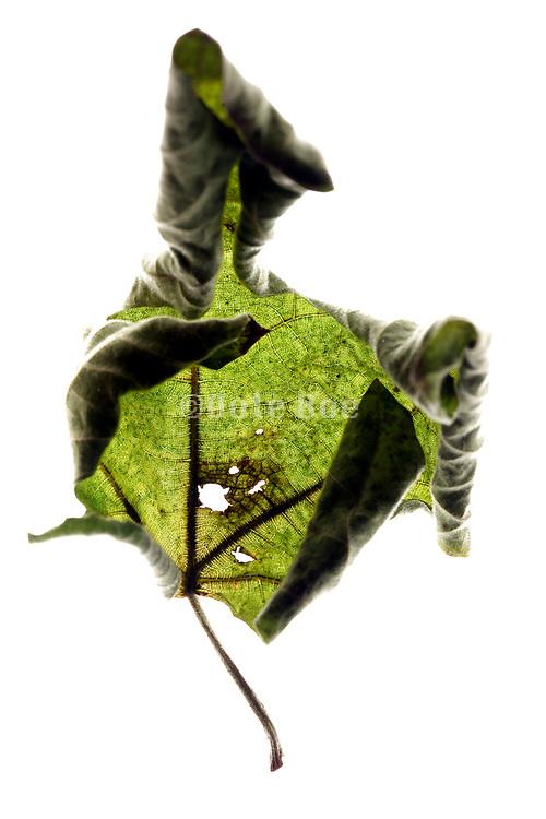 curling up green leaf