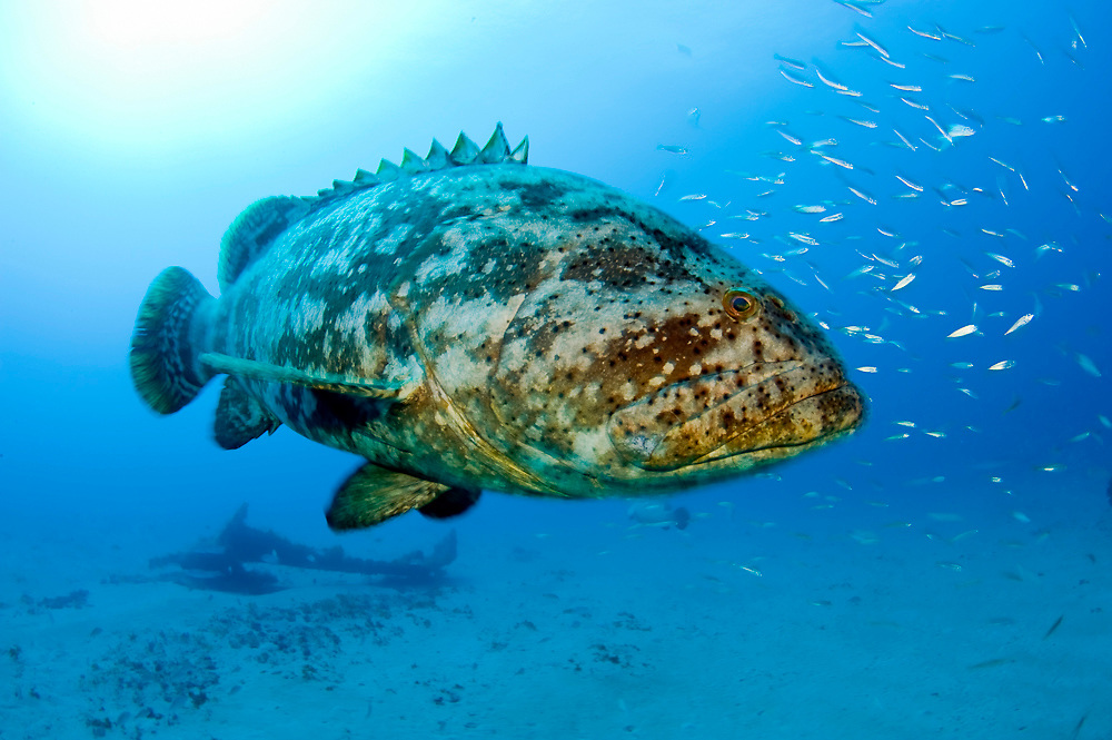 Goliath grouper Epinephelus itajara congregate around the shipwreck of the Zion in Jupiter, FL to spawn in the months of August and September. They are often accompanied by cigar minnows Decapterus punctatus.