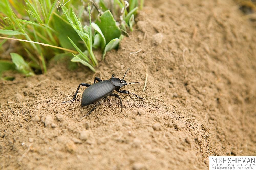 Idaho, Canyon County, Snake River, Deer Flat National Wildlife Refuge, goose nest survey, Tenebrionid beetle
