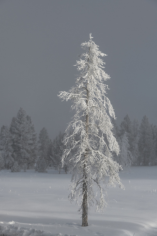 A lone tree stands covered in frost, Yellowstone.