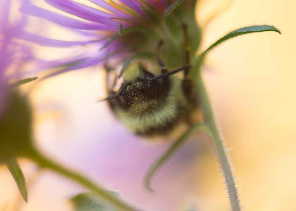 Macro photograph of a bee on an aster flower in morning sunlight.