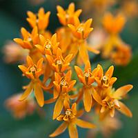 Botanicals: Perennials
