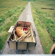 A Stag, a male deer, who has been hunted and killed is towed in a trailer in Knoydart in the highlands of Scotland, UK