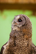 Tawny Owl or Brown Owl (Strix aluco) Photographed in Israel