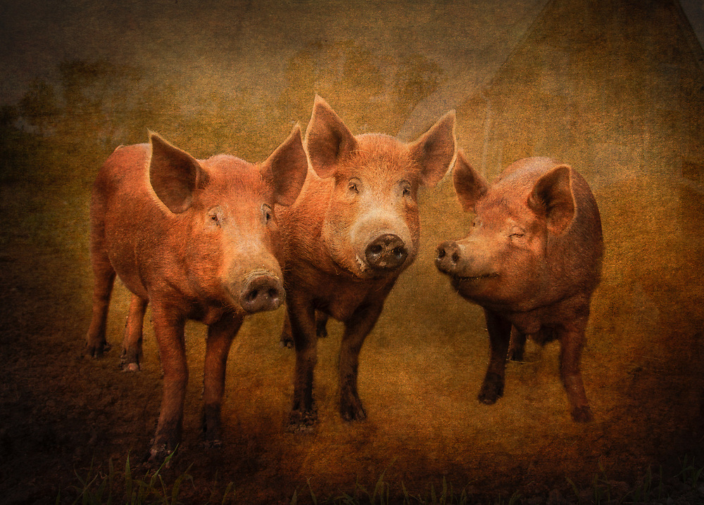Tamworth pigs. Tamworths are among the oldest of pig breeds. They are ginger to red in color and are thought to have descended from wild boars, via native pig stock of Europe.  Alternate names for this animal are Sandy Back and Tam.