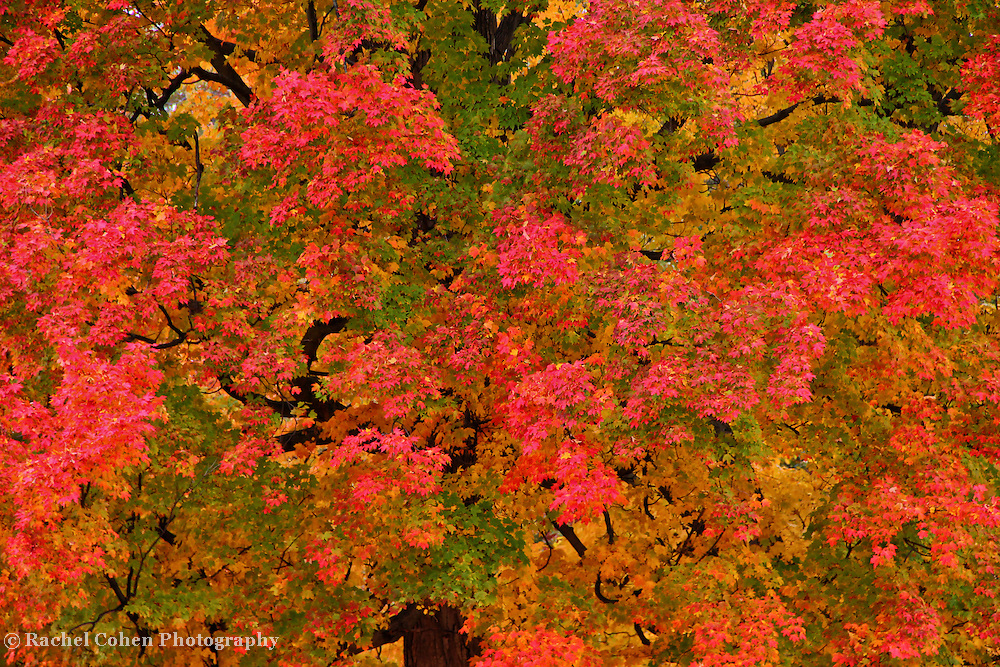 """""""Changes in the Morning""""<br /> <br /> An early morning look at a huge and beautiful Maple tree. Leaves turning pinkish, yellow, and red, with green still mixed among the foliage! A simple and lovely autumn image!!<br /> <br /> Fall Foliage by Rachel Cohen"""