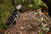 Western Spotted Skunk (Spilogale gracilis) at night in costal forest, Oregon.