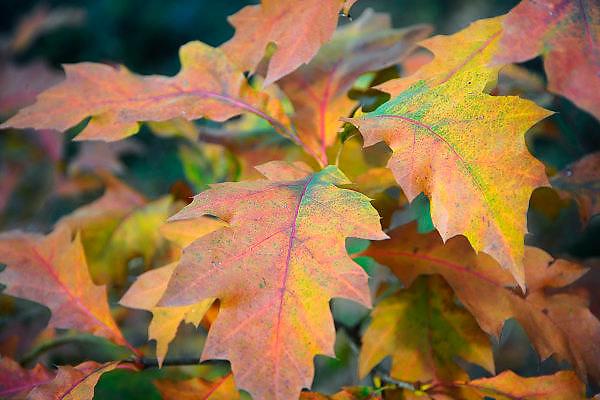 Nederland, Ubbergen, 3-11-2010Verkleurde blaadjes in de herfst.Foto: Flip Franssen/Hollandse Hoogte