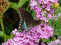 A Spicebush Swallowtail  butterfly (Papilio troilus) on Fall Phlox flowers in Central Park, Aug. 9, 2021.