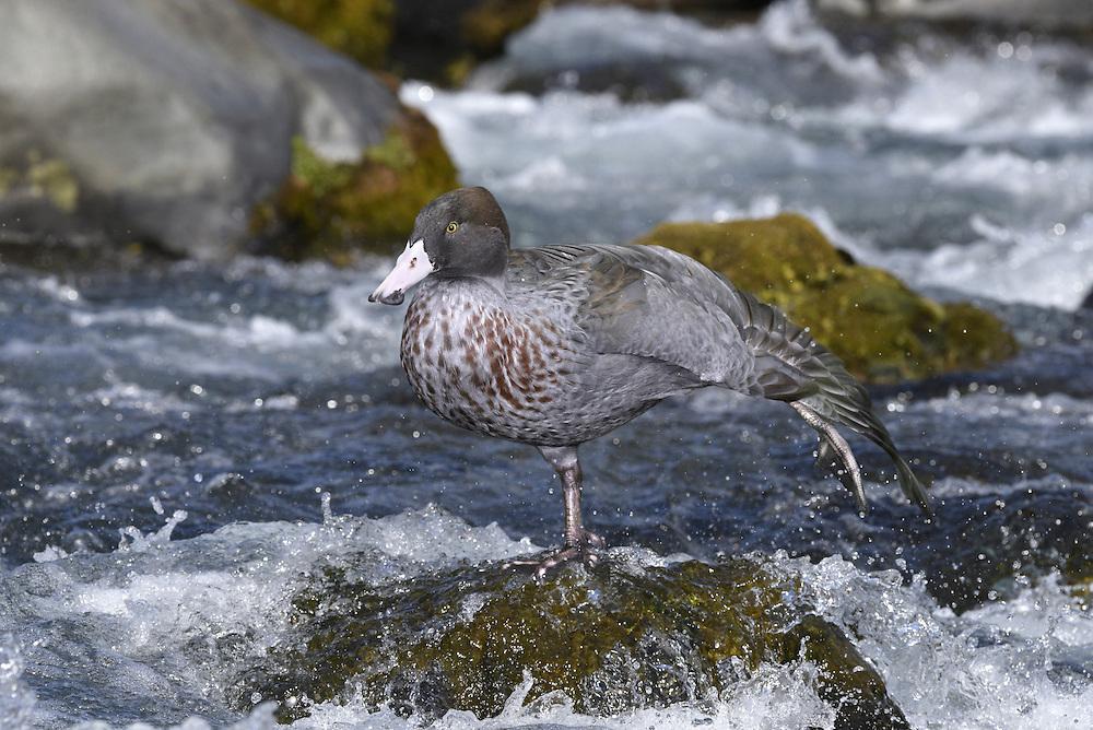 Blue Duck - Hymenolaimus malacorhynchus