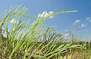 Virginia Glassworts (Salicornia depressa), Jeremy Island, Intracoastal Waterway, McClellanville, SC, USA