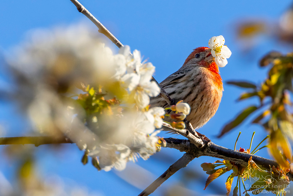 A male house finch (Haemorhous mexicanus) plucks a blossom from a cherry tree in Snohomish County, Washington. The bird's red coloring comes from pigments in the foods it eats.