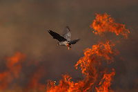 Male Red-footed Falcon hunting over burning steppe fields.