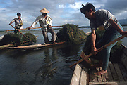Clearing weed on Inle Lake for use as compost in floating gardens.<br /> Burma 1999