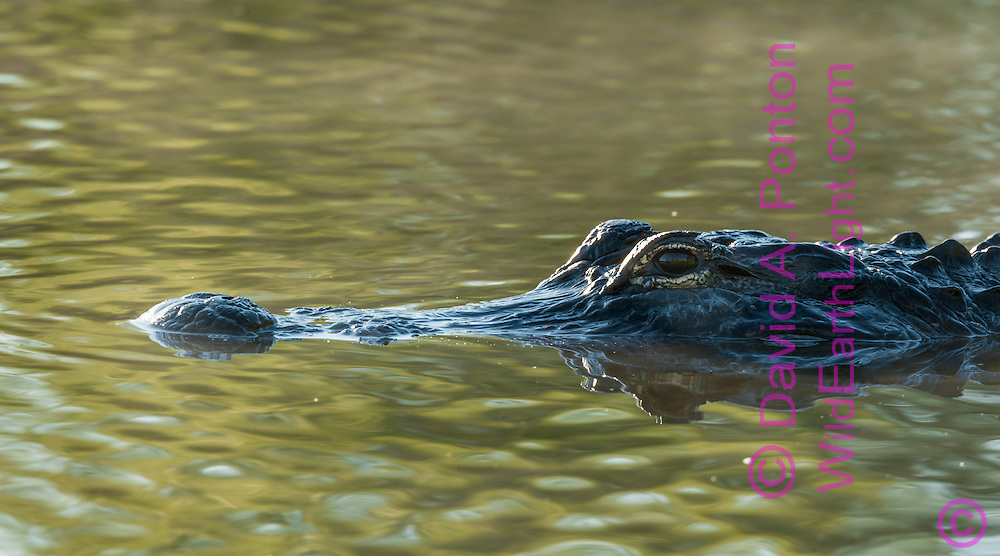 Alligator on the surface of a misty pool in early morning light, © 2007 David A. Ponton