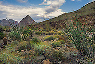 Diamond Peak and blooming Ocotillo, Peach Springs, Arizona