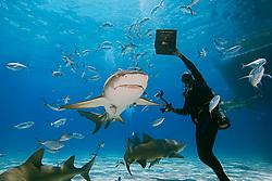 scuba diver with shark baits, lemon sharks, Negaprion brevirostris, with sharksuckers, and blue runner jacks, Grand Bahama, Bahamas, Caribbean Sea, Atlantic Ocean, MR 050807-KS, 050807-GO