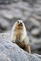 Hoary Marmot in the Canadian Rockies