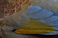 Taiwan Laughing-thrush, Garrulax morrissonianus, Endemic. Alishan National Scenic Area, Taiwan