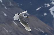 Glaucous gull (Larus hyperboreus) flies along shore in Krossfjorden, Svalbard.