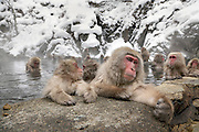 Snow Monkeys in Jigokudani Monkey Park Nagano Prefecture Japan