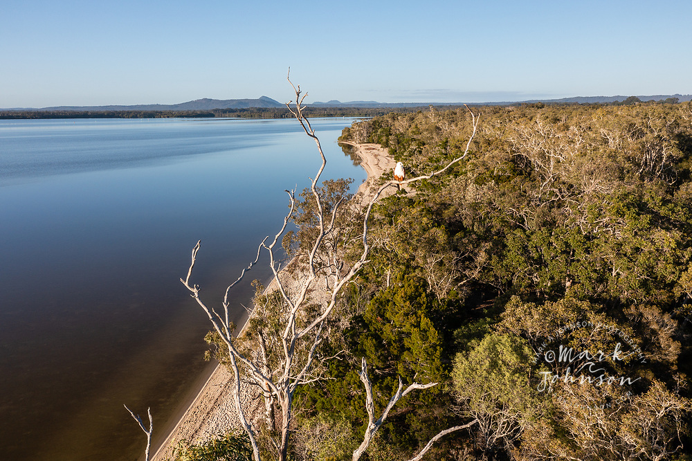 Aerial view of a Brahminy Kite perched above Lake Cootharaba, Boreen Point, Sunshine Coast, Queensland, Australia