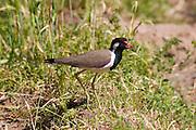 Indian native bird in field at Nimaj, Rajasthan, Northern India