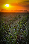 """SHOT 9/6/20 6:29:28 AM - Rows of corn growing in the Lincoln, Neb. area as the sun rises early one morning. The """"Cornhusker State"""" prides itself on its corn production. Corn is the most widely grown crop in Nebraska and has a variety of uses, from feeding livestock and poultry, to producing ethanol, distillers grains and even bioplastics. (Photo by Marc Piscotty / © 2020)"""