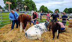 Biggar, South Lanarkshire, Scotland 23 July 2016<br /> <br /> Preparing cattle for showing.<br /> <br /> (c) Andrew Wilson | Edinburgh Elite media