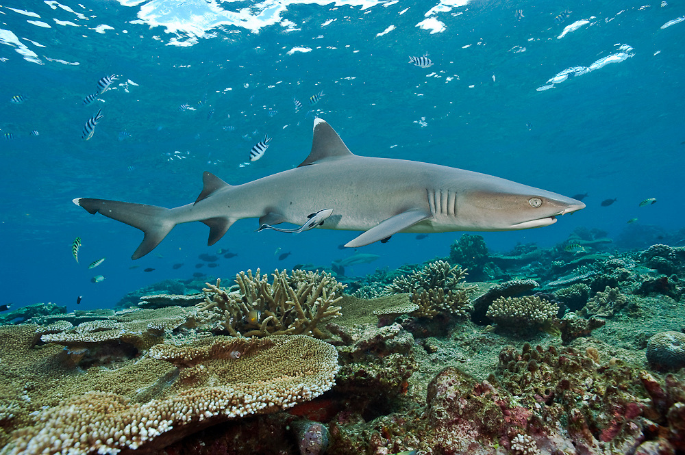 White-tip Reef Sharks, Triaenodon obesus, prowl the shallows of coral reef in Beqa Lagoon, Fiji.