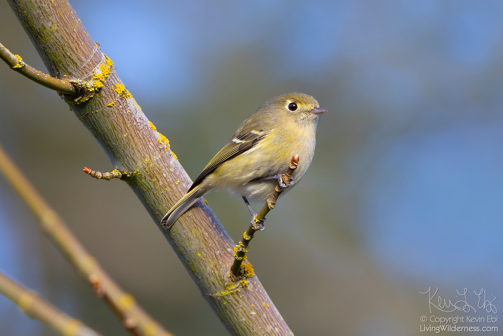 A Hutton's vireo (Vireo huttoni) looks out from its perch in a big leaf maple tree in Snohomish County, Washington. The Hutton's vireo is found along the Pacific coast and the mountains of southeastern Arizona into central Mexico. The birds feed on insects found relatively high in trees.