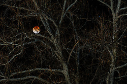 """""""Super Blue Blood Moon"""" and tree branches in Animas Creek, Ladder Ranch, west of Truth or Consequences, New Mexico, USA."""