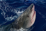 tiger shark ( Galeocerdo cuvier ) lunging for bait, North Shore, Oahu, Hawaii, USA ( Central Pacific Ocean ) (dm)