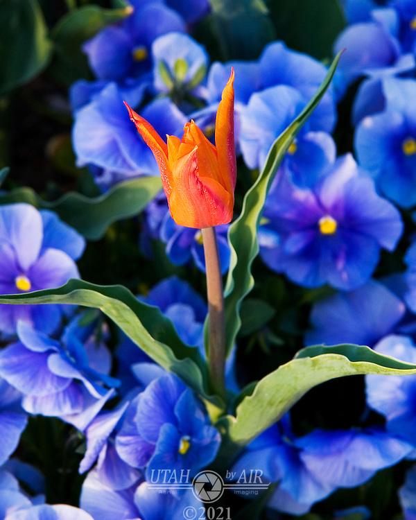 Tulip among Pansies