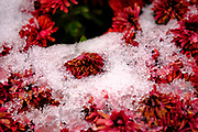 20 OCTOBER 2020 - DES MOINES, IOWA: Remnants of an autumn snow in downed leaves in Des Moines.     PHOTO BY JACK KURTZ