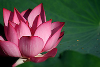 Close up of a beautiful pink lotus and lotus leaf with a few droplets of water.