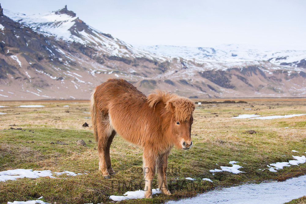 Cute shaggy-haired typical Icelandic pony in South Iceland